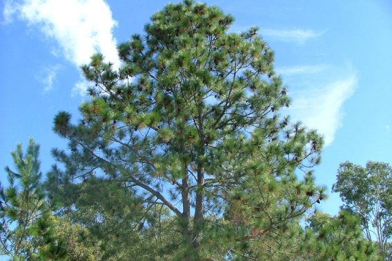 Southern pine find your local supplier now see pics Pine tree timber